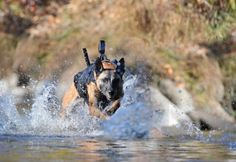 Military Working Dog (MWD) Running with equipment