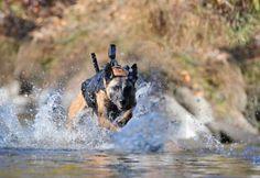 Military Working Dog (MWD) Running with equipment