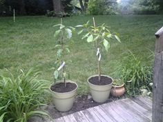 "growngive ""avocado"" trees loving their new home 6/21/15"