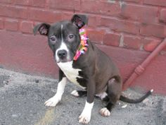 Brooklyn Center  SUNSHINE - A0995803  FEMALE, BLACK / WHITE, PIT BULL MIX, 6 mos OWNER SUR - EVALUATE, NO HOLD Reason PERS PROB  Intake condition NONE Intake Date 04/05/2014, From NY 11213, DueOut Date 04/05/2014, Medical Behavior Evaluation GREEN  https://www.facebook.com/photo.php?fbid=782880415058173&set=a.617941078218775.1073741869.152876678058553&type=3&theater