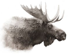 Moose. Digital Wildlife Art by Jonathan Wilson of DigitalArtDownloads and Renata and Jonathan