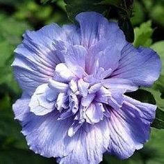 Amazon.com : 50 MIXED COLORS ROSE OF SHARON HIBISCUS Syriacus Flower Tree Bush Shrub Seeds Mix *Comb S/H : Flowering Plants : Patio, Lawn & Garden