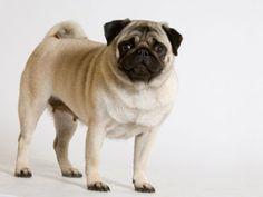 Pug o Carlino Adulto