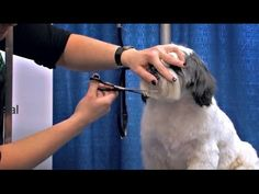 Michell Evans Freestyle Shih Tzu | Groomer to Groomer – Pet Grooming News…