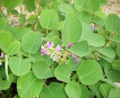 desmodium styracifolium aktywny skladnik Shilintong Pian http://xurl.pl/shilintong