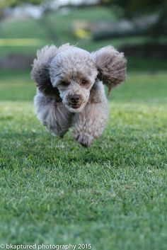 Toy Poodle...on the fly