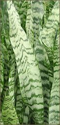 Care for Sansevieria plant - Mother in law's tongue!