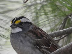 White-throated Sparrow Lake Carroll IL by Ken Groezinger