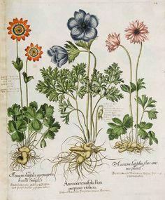 122408 Anemone coronaria L. [as Anemone tenuifolia flore purpureo violacea]  / Bessler, Basilius, Hortus Eystettensis, vol. 1:  Primus ordo  collectarum plantarum vernalium, t. 34, fig. I (1620) [B. Besler]