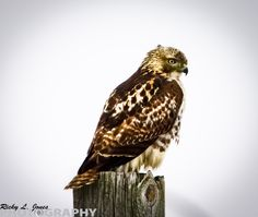 Red-tailed Hawk  © Copyright Ricky L.Jones Photography 1995-2013 All rights reserved.