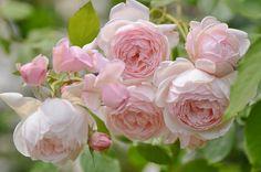 "Rose "" Madame Figaro ® "" , (Delrona) , bred by G. Delbard (France)"
