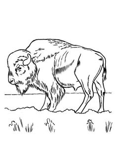 Bison Sketch Bing images Coloring Pages Pinterest Image search