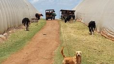 Cows, trucks outside greenhouses