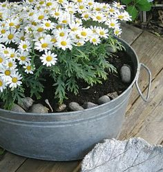 Daisies in a tin can