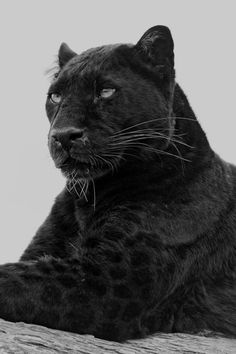 """Black leopard - A """"black panther"""" is typically a melanistic (black) color variant of any of several species of larger cat. In the Americas, wild 'black panthers' may be black jaguars, while in Asia and Africa, black leopards; in Asia, possibly the very rare black tigers. Smaller wild cats, like jaguarundi, may also be black."""