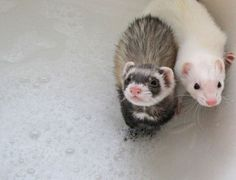 Bath Time! #ferret #FerretDaily