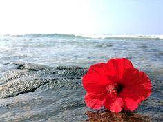 'Ula'ula Aloalo (Red Hibiscus)