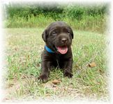 Labrador (Lab) puppies for sale from Georgia Labrador Breeders, Labrador Retriever, Lab Puppies, Puppies For Sale, Labs, Georgia, Animals, Labrador Retrievers, Animaux