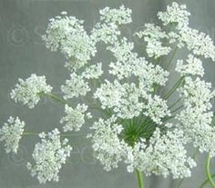 In summer, Ammi majus bears an abundance of large round blooms made up of clusters of tiny white florets.  Seeds @ Seedaholic