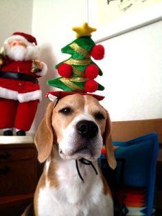 Merry Christmas! #beagles #pets http://www.nojigoji.com.au/