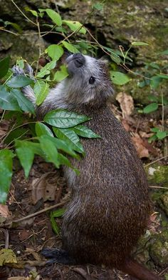 Cuban or Demarest's Hutia (Capromys pilorides) feeding, Cuba