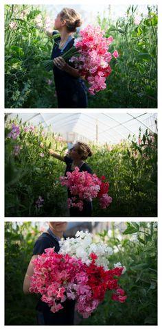 Long stem sweet pea harvest at Floret Flower Farm.  #Farmerflorist