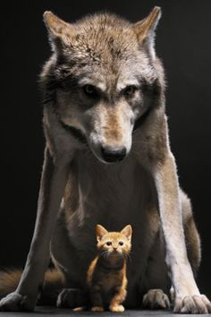 Wolf and Cat iPhone wallpaper by xploitme, via Flickr