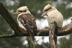 Laughing Kookaburra (Dacelo novaeguineae) Two birds on a branch