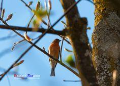 Heute ein Rotkehlchen (Erithacus rubecula) vor die Linse bekommen. Wer mehr über Singvögel erfahren möchte und wie Sie sich anhören erfahrt Ihr unter: http://www.lbv.de/…/stunde-der…/gartenvogel-steckbriefe.html #rotkehlchen #singvögel #fotografie #fotografia #photography #bayern #kolbermoor www.bereit-videofilm.de https://plus.google.com/112007889895650114653/posts https://500px.com/BernhardReitmeier Weniger anzeigen