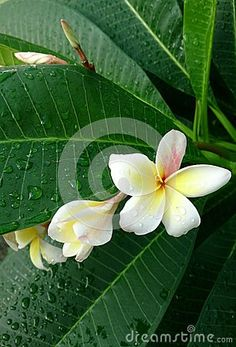 Plumeria - Download From Over 26 Million High Quality Stock Photos, Images, Vectors. Sign up for FREE today. Image: 44996272