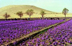 Taliouine, home of Moroccan saffron, is one of the most beautiful places on earth at harvest time...