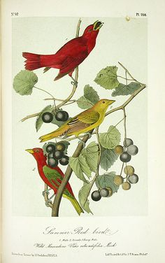 John James Audubon Birds of America 1871 Complete 8 Volumes from Panteek Antique Prints Nature Prints, Bird Prints, Walton Ford, Audubon Birds, Birds Of America, Type Illustration, John James Audubon, Bird Pictures, Vintage Birds