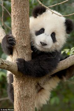This panda cub and his little buddies is only a few months old but is already learning how to climb.   Some of the 14 cubs took to climbing better than others, but each one is a significant achievement simply by being born. Giant pandas are  notoriously hard to breed. So there has been much excitement among visitors to Chengdu – dubbed the world's panda capital – since the cubs' births last year between July and September.