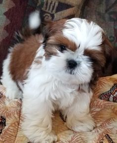 Cute Baby Dogs, Cute Little Puppies, Little Dogs, Cute Baby Animals, Cute Puppies, Dogs And Puppies, Shitzu Puppies, Teacup Puppies, Shih Tzu Puppy