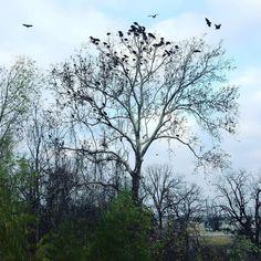 #tree #birds #crows #sanmarcos #texas #saltgrass #countryliving