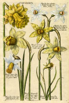 Matthaeus Merian ~ Narcissus varieties, from Viridarium reformatum ~ D. Valentini, 1719 Hand colored line engraving Illustration Botanique, Plant Illustration, Botanical Illustration, Engraving Illustration, Vintage Botanical Prints, Botanical Drawings, Botanical Flowers, Botanical Art, Logo Fleur
