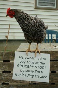 I probably laughed too hard at this one, but you have to admit it's funny! Freeloading chicken!