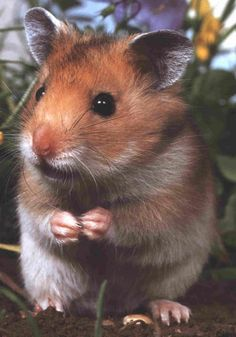 Can, can I have a cracker please~ - Hamsters Hamster Habitat, Hamster Care, Syrian Hamster, Hamsters As Pets, Cute Hamsters, Rodents, Animals And Pets, Baby Animals, Rats