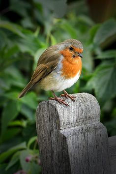The classic image of winter in the country - Robin on a gate-post!