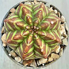 Euphorbia valida.