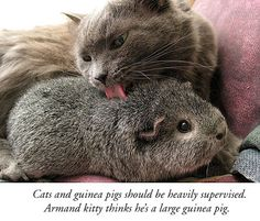 guinea pigs annoying cats - Google Search