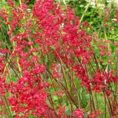 Évelő kerti virágok, Sziklakerti és talajtakaró évelők Heuchera, Flowers, Plants, Plant, Royal Icing Flowers, Flower, Florals, Floral, Planets