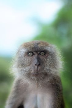 Macaque Passport Photo by Sham Jolimie on 500px