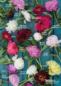 guide handy overview with available peonies of PurE seasonal flowers . - guide handy overview with available peonies of PurE seasonal flowers. Arrangements Ikebana, Floral Arrangements, Peony Arrangement, Peonies Centerpiece, Hydrangea Care, Decoration Plante, Flower Names, Peonies Garden, Flower Farm
