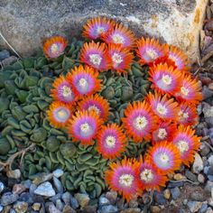 Aloinopsis 'Karoo Red Mix:' Love this as a groundcover idea