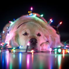 For many of us, our pets are part of the family. Make sure to keep poisonous food and drinks away from your pets this holiday season - ornaments and tinsel can also be hazardous to pets' health. I Love Dogs, Puppy Love, Cute Dogs, Animal Pictures, Cute Pictures, Theme Noel, Tier Fotos, Jolie Photo, Pets