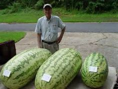11.11 promotion today Fruit seeds North Carolina Giant Watermelon -20 Seeds- HUGE 200 lbs,Free Shipping