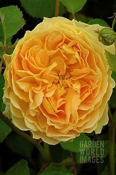 David Austin rose Molineux