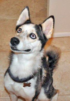 Meet Siberian husky rescue adoptable Gaby! She is a three-year-old female  Siberian Husky with a black and white coat and blue eyes. To adopt Gaby or any of our other beautiful Huskies, please apply here: http://www.siberrescue.com/ #share please.