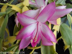 Schlumbergera-Variegated-Christmas-Cactus-039-Carnival-039-in-buds